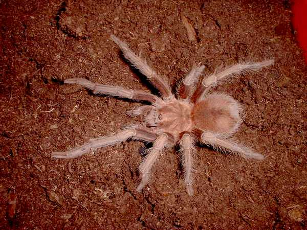 Acanthoscurria-antillensis2